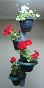 Overwinterende Geraniums